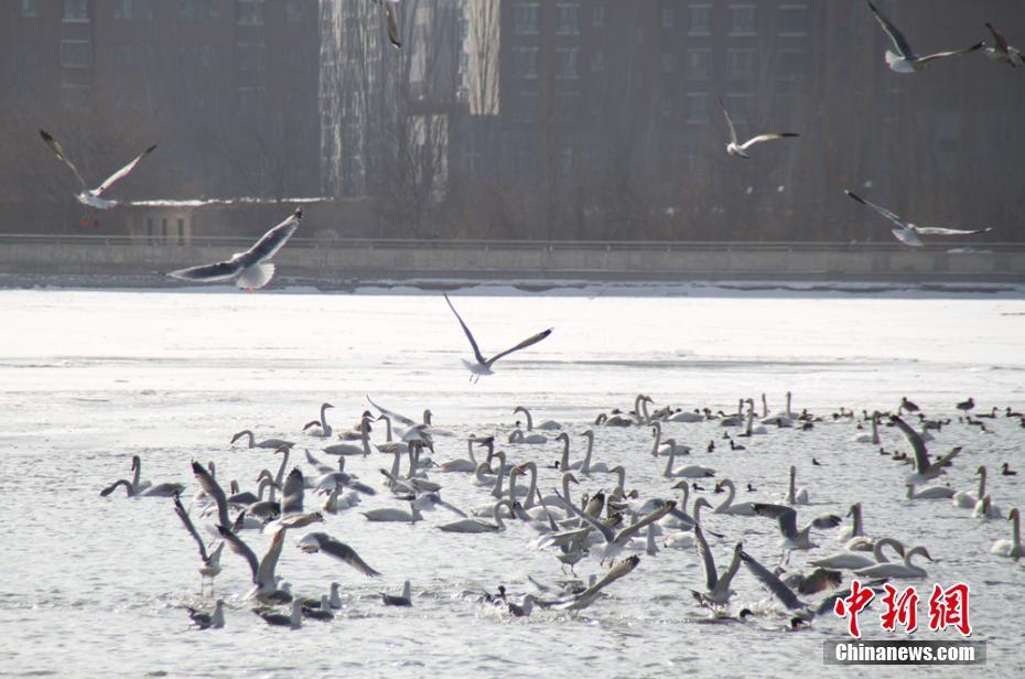 """新疆库尔勒千鸟""""聚会"""" 400余只银鸥滑翔亮翅"""