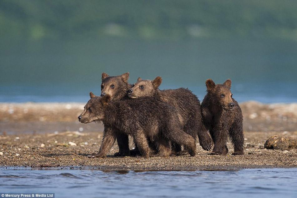 熊宝宝学习捕猎憨萌可爱