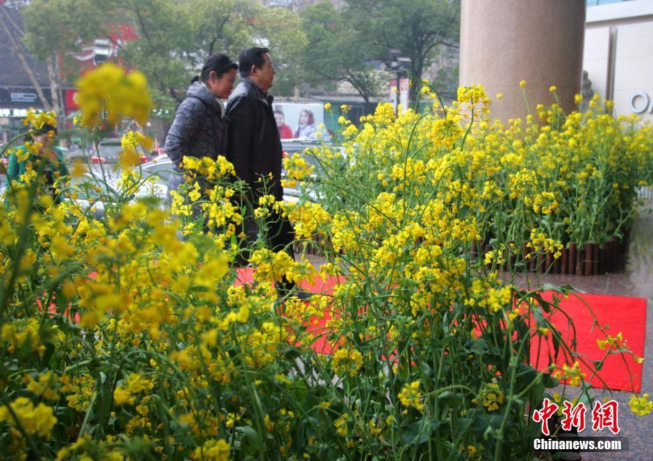 湖北/日前,湖北宜昌一商场将乡村田野的油菜花种到了门口,以此美化...