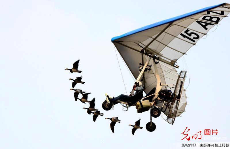 大雁与三角翼飞行编队演绎人与自然和谐
