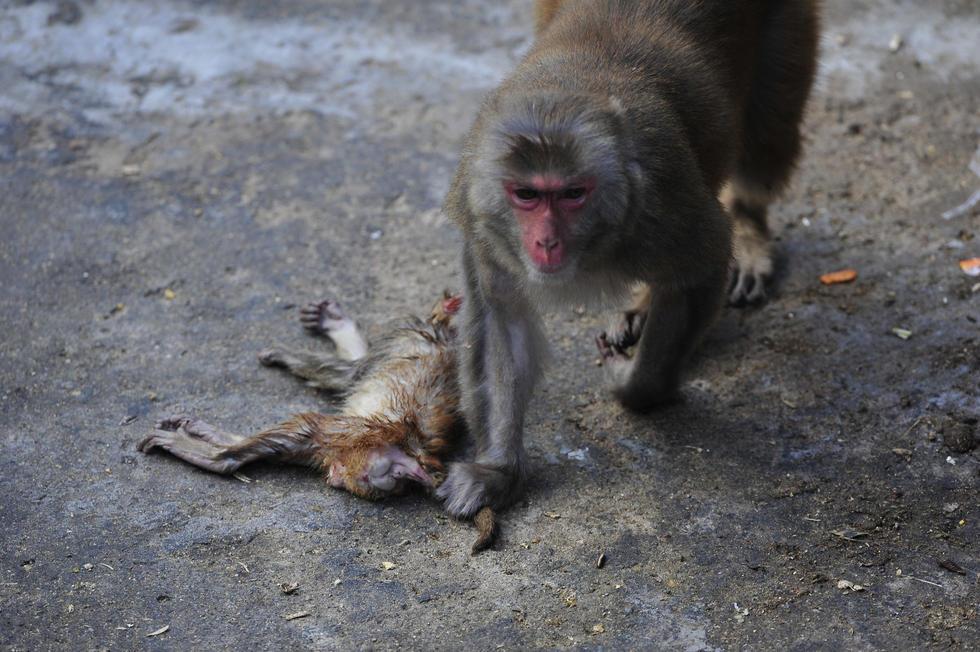 记者在福州动物园猴山看到