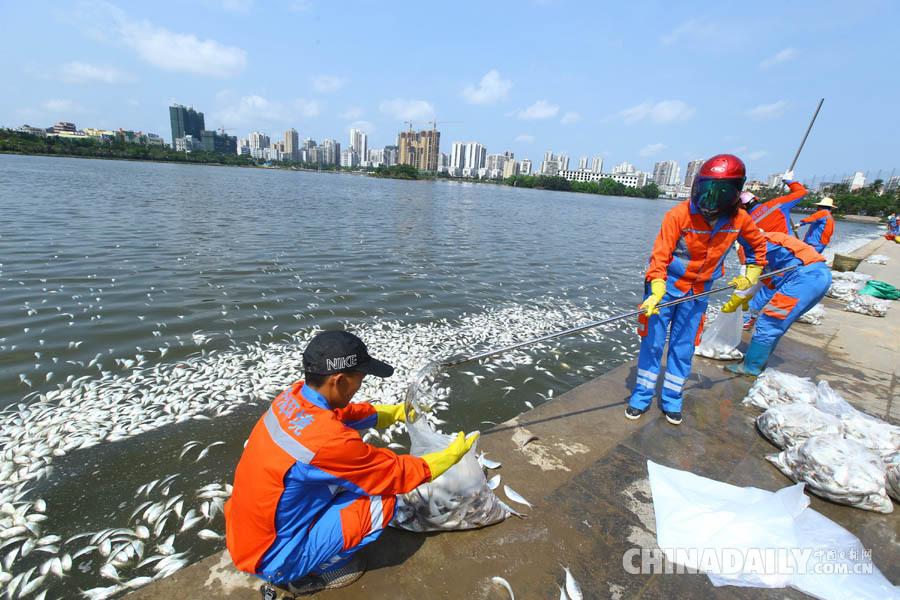 海南海口红城湖现大量死鱼