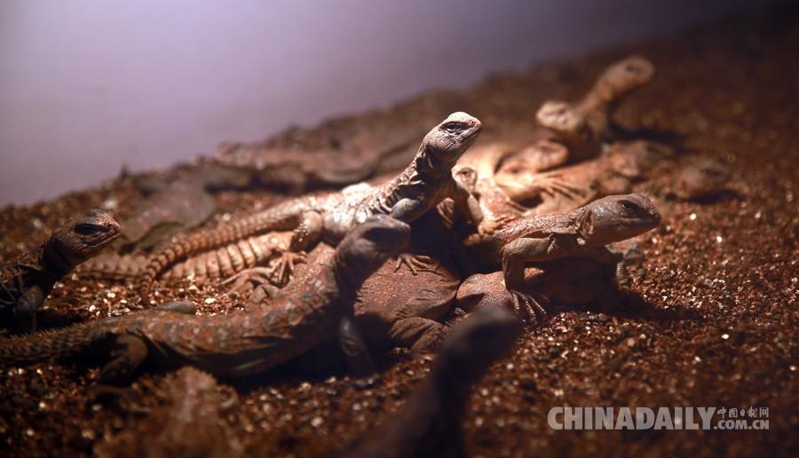 隔离期中的马里王者蜥(中国日报记者邹红)