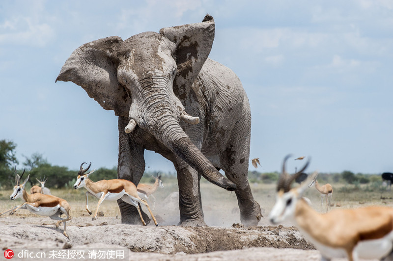 非洲大象闯入黑斑羚群欲独霸水塘