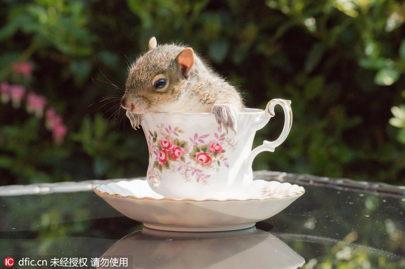 一只漂亮的松鼠宝宝初次登台当模特,站在一组瓷器茶具里面拍摄可爱