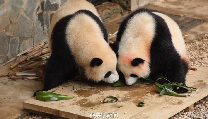 """动物园熊猫们吃特制""""熊猫粽"""""""