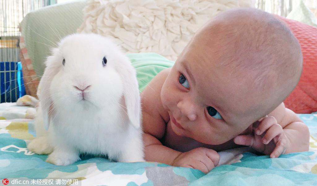 2016年6月11日报道(具体拍摄时间不详),还在给你家小宝宝买毛绒玩具?来看看美国的宝宝怎么玩!在其他人都抱着毛绒玩具喜笑颜开的时候,来自宾夕法尼亚3个月大的宝宝Finn Bonnice就已经看着小兔子在他肚肚上挠痒痒咯咯大笑了,他的玩伴是4只5个月大的小兔子,他们一起玩耍,一起睡觉,已经成了亲密无间的好朋友。(图片来源:东方IC 未经授权 请勿转载)