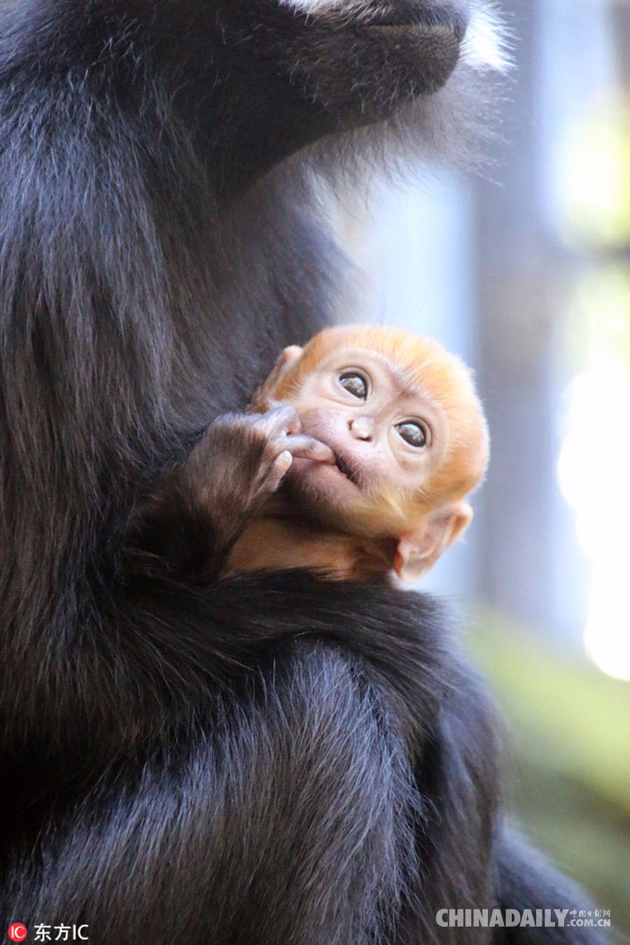澳大利动物园诞生超萌橙黄色小猴子
