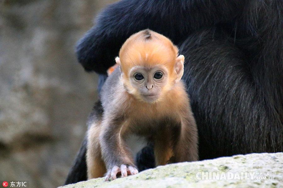 澳大利动物园诞生超萌橙黄色小猴子 为世界罕见