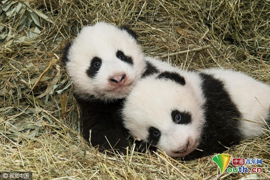 全球大熊猫迎新年活动 熊猫宝宝呆萌来拜年 - zcyyglzx - zcyyglzx的博客