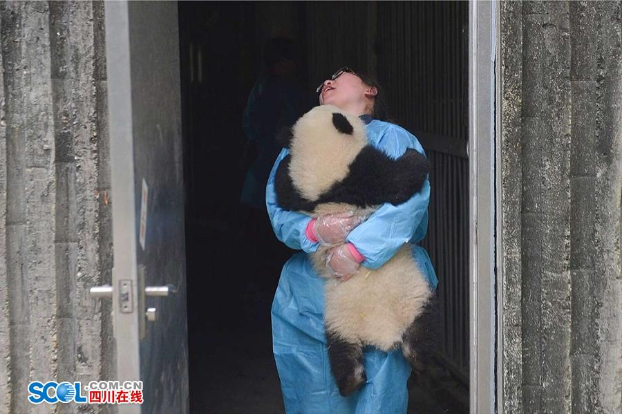 Reveal the panda nanny work To play happy is one of the work