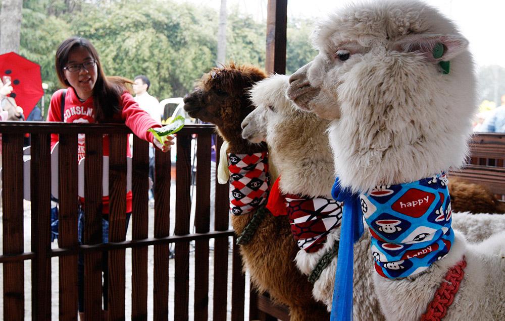 """""""萌宠踏青季""""活动在上海欢乐谷正式拉开帷幕,羊驼,小奶牛,小猪和小兔"""