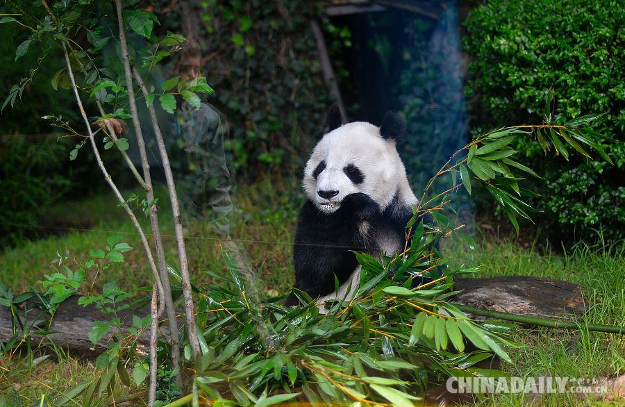 当地时间7月19日,大熊猫双双在墨西哥城查普尔特佩克动物园接受定期