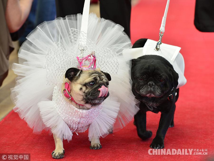 当地时间2015年5月17日,澳大利亚墨尔本,澳大利亚墨尔本一家动物救助机构为两只可爱的哈巴狗举行了盛大的婚礼,它们身上所穿的礼服也是价值不菲。婚礼现场各种鲜花、装饰、蛋糕应有尽有。该机构希望借助此次仪式为救助更多的狗狗募集资金。