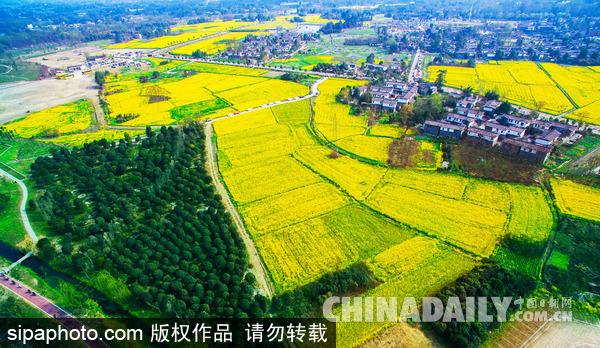 四川省成都平原,成都市郫都区青杠树村油菜花盛开,林盘风景秀丽.